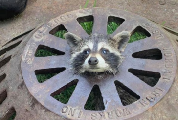 Firefighter Saves Racoon Stuck in Sewer Cover