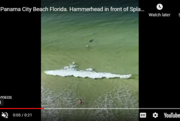 WATCH: Hammerhead Shark Charges Swimmer in PCB