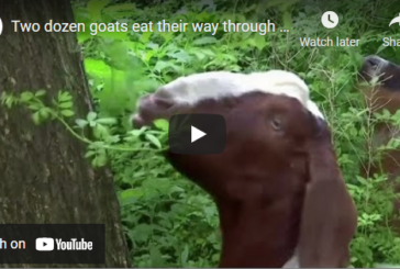 NYC Park Gets Rid of Invasive Plants with Goats